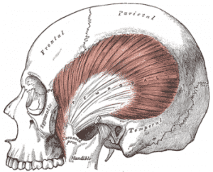 músculo temporal